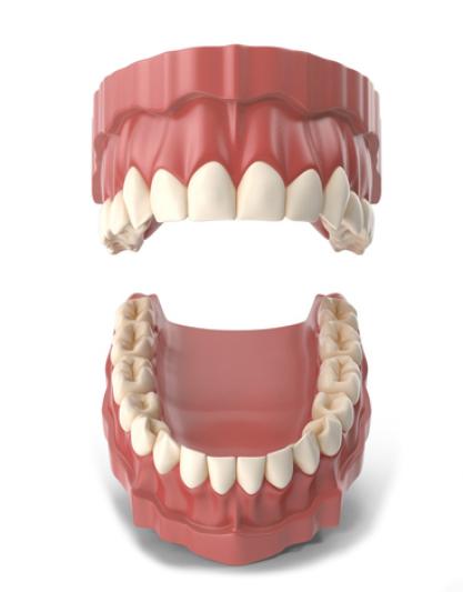 Tipos de dientes y funciones